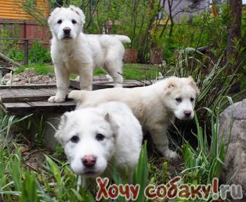 Продаю щенков Алабая, фото Среднеазиатская овчарка.