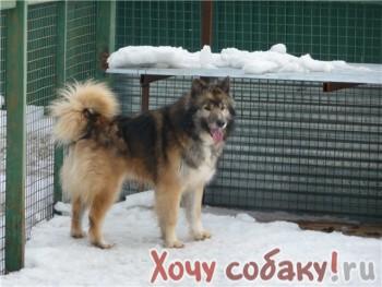 Идеальная собака.  Щенок метис хаски.