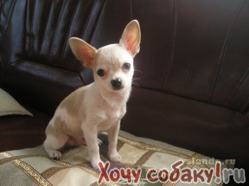 Does your chihuahua have a dirty little secret?