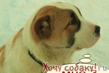 Собаки Челябинск продажа Челябинск, купить Челябинск, продам Челябинск...