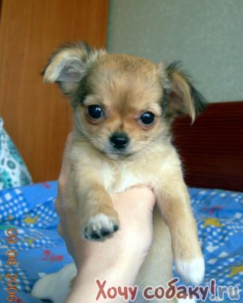 Приму собаку породы Чихуахуа.