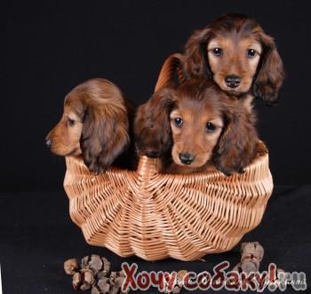 Собаки в дар в Орле  moyareklamaru