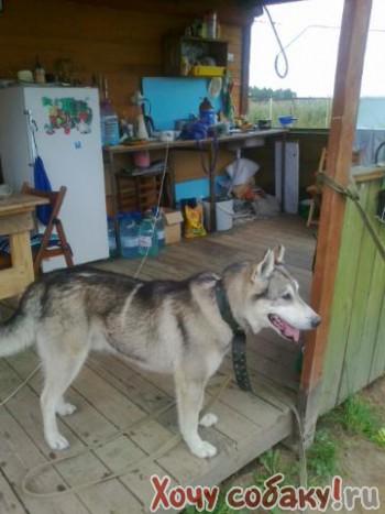 Найдена собака Западно сибирская лайка.