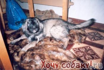 Кавказская овчарка.