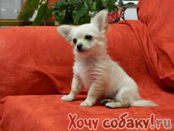 Продам красивого щенка чихуахуа от титулованных родителей