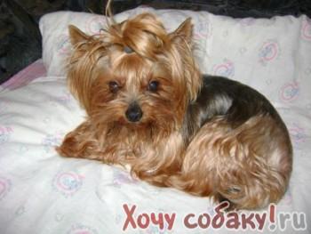 В красном селе санкт-петербурга продаются щенки йоркширского терьера