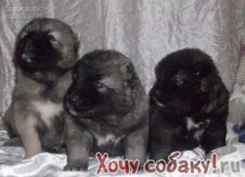 щенки кавказской овчарки 1 месяц.