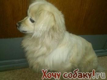 Сообщение. девочка, 20-25см, метис пекинеса и шпица, палевого окраса, с собаками дружит