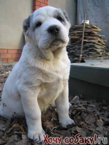 Дата размещения.  Продаю щенков среднеазиатской овчарки-АЛАБАИ.