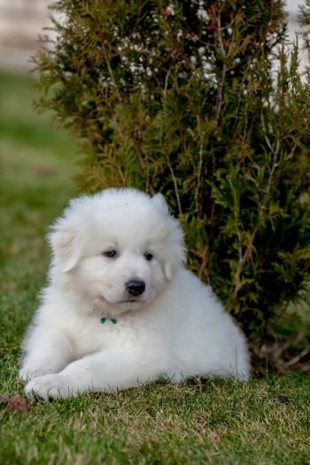 Продам щенка маремма абруцкой овчарки осталась одна девочка(щенку 5 месяцев)щенок от итальянского импортного