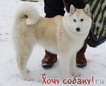 Западно Сибирская лайка, кобель, 0,5 года, бело рыжего окраса, кличка...