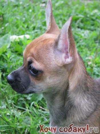 Чихуахуа щеночки мальчишки г/ш 6 мес. продаются как домашниии любимцы.