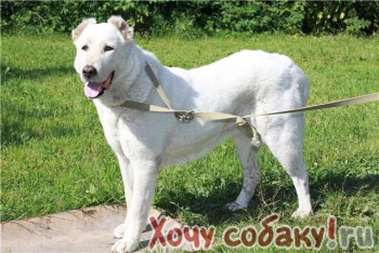 Найдена сука САО (алабай, среднеазиатская овчарка