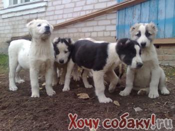 среднеазиатская овчарка щенки два месяца.