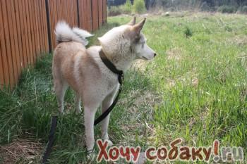 Пропала собака Западно-сибирская лайка.