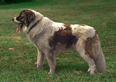 Породы собак Московская сторожевая, Фотография 6.