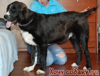 Собака помесь очень красивая,умная и верная.  Девочка, 9 месяцев белая с сёрно - серыми пятнашками.