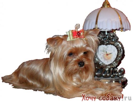 Йоркширский терьер,продажа щенков,йоркшир терьер,золотые йорки,golddust yorkshire terrier